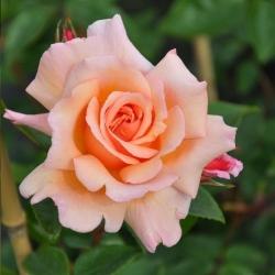 Compassion (Rosa rampicanti / Rambler)