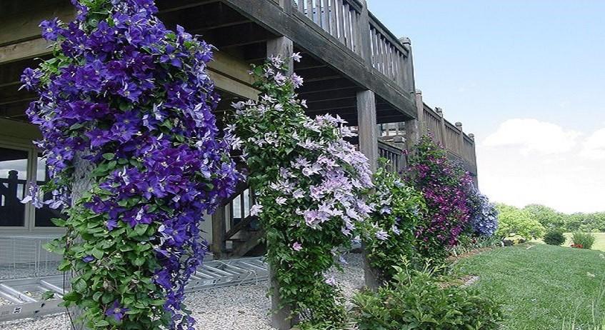 Clematide Jackmanii - Justa - Etoile Violette