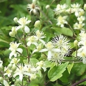 Clematide Vitalba (Pianta rampicante)