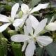 Clematide armandii (Pianta sempreverde)