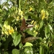 Caprifoglio di Henry (Pianta sempreverde)
