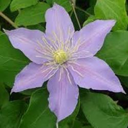 Clematide Justa (Pianta rampicante)
