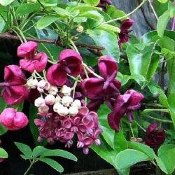 Akebia Quinata (Pianta sempreverde)