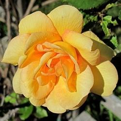 Maigold (Rosa rampicanti / Rambler)
