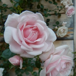 New Dawn (Rosa rampicanti / Rambler)