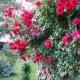 Sympathie (Rosa rampicanti / Rambler)