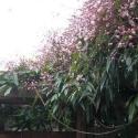 Rampicanti sempreverdi (2,5 metri): senza Edera