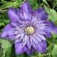 Clematide Multi Blue (Pianta rampicante)