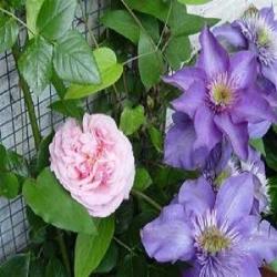 New Dawn (Rosa rampicanti / Rambler) + Clematide Multi Blue