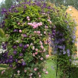 New Dawn (Rosa rampicanti / Rambler) + Clematide Etoile Violette