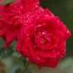 New Dawn Rouge (Rosa rampicanti / Rambler)