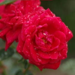 New Dawn Rouge (Rosa rampicanti / Rambler)