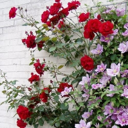New Dawn Rouge (Rosa rampicanti / Rambler) + Clematide Piilu