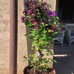 Clematis Etoile Violette (per balcone e patio)