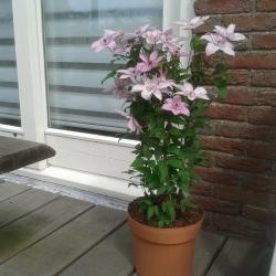 Clematide Hagley Hybrid (per balcone e patio)