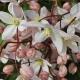 Clematide Hendersonii Rubra (Pianta Sempreverde)