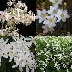 Bianco sempreverde 2 (clematidi Combinazioni)
