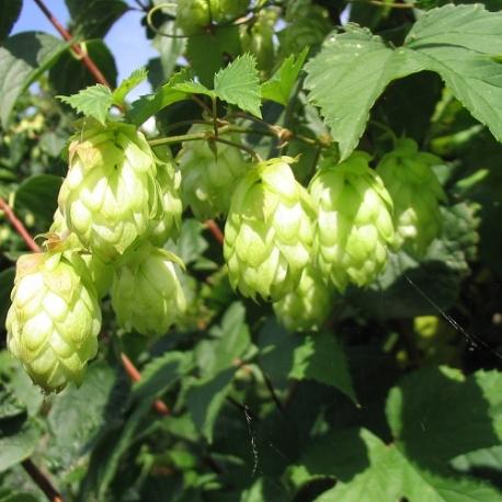 Luppolo Da Birra (Humulus Lupulus)
