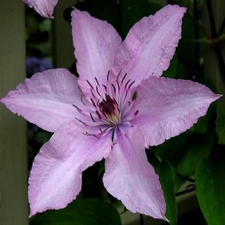 Clematide Hagley Hybrid (Pianta rampicante)
