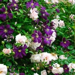 New Dawn (Rosa rampicanti / Rambler) + Clematide Viticella