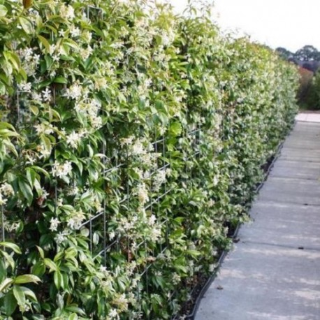 Gelsomino   Trachelospermum Jasminoides (Pianta Sempreverde)