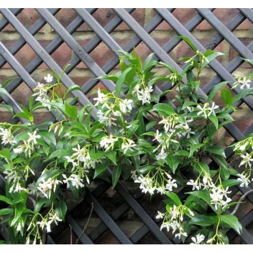 ... Gelsomino   Trachelospermum Jasminoides (Pianta Sempreverde) ...