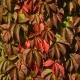 Ampelopsis (Pianta rampicante)