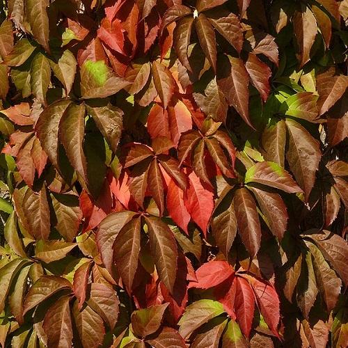 Ampelopsis vite canadese sempreverde for Pianta rampicante sempreverde