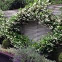 Gelsomino - Trachelospermum jasminoides  (per balcone e patio)