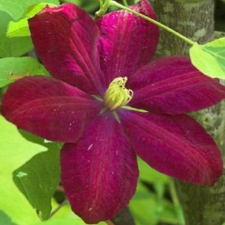 Clematide Voluceau (Clematis)