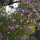 Clematide Alpina (Pianta rampicante)