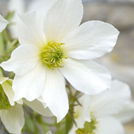 Clematide Early Sensation (Pianta sempreverde)