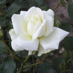 White New Dawn (Rosa rampicanti / Rambler)