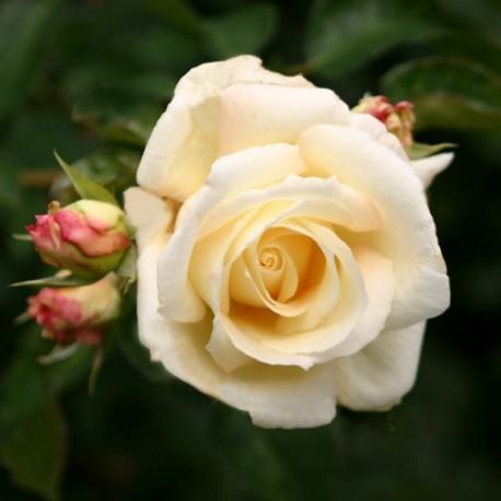 Schneewalzer (Rosa rampicanti / Rambler)