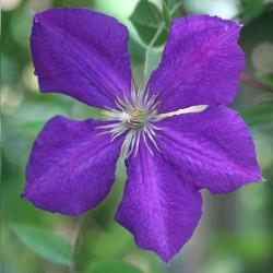 Clematide Jackmanii (Pianta rampicante)