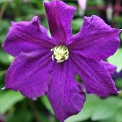 Clematide Viticella (Pianta rampicante)