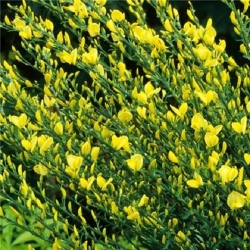Citiso 'Allgold´ (Cytisus)