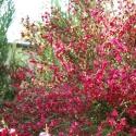 Citiso Boskoop Ruby (Cytisus)