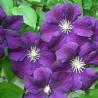 Clematide Etoile Violette (Pianta rampicante)