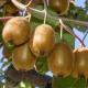 Kiwi - Actinidia deliciosa Jenny