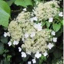 Ortensia - Hydrangea rampicante Petiolaris (Pianta rampicante)