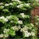 Ortensia - Hydrangea rampicante 'Petiolaris' (Pianta rampicante)