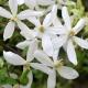 Clematide Snowdrift (Pianta sempreverde)