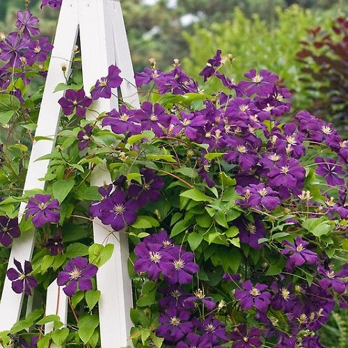 clematide etoile violette in vendita online