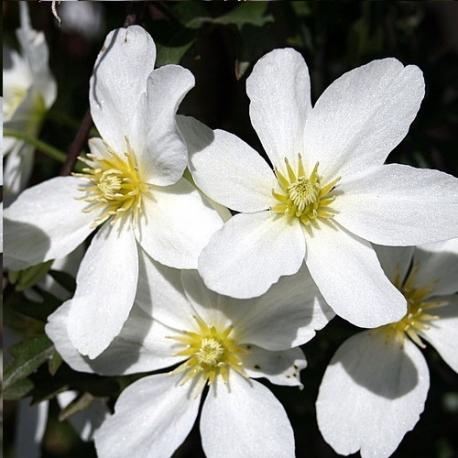 Clematide Avalanche (Pianta sempreverde)