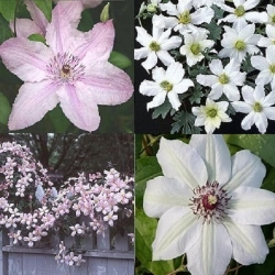 Rosa -  Bianco (clematidi Combinazioni)