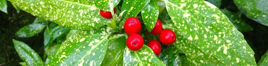 Altre piante da giardino in vendita online piante rampicanti sempreverdi in - Piante da giardino profumate ...