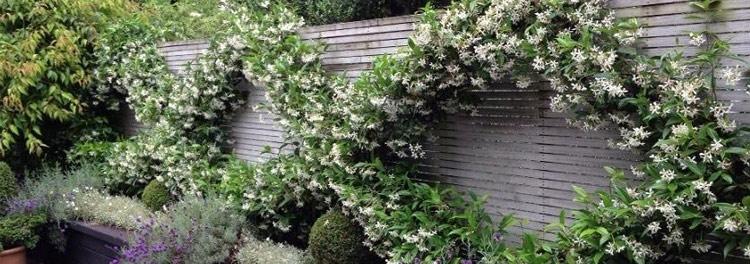 * Gelsomino - Trachelospermum jasminoides (sempreverde)